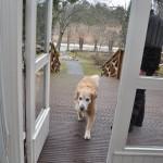 Roosa-koira saapuu takapihalta verannan kautta sisään.