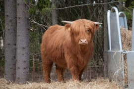 Highland cattle eli kyloe. Suomalaisttain Skotlannin ylämaankarja on uhkean kokoinen eläin. Kuva Sauli Kaipainen.