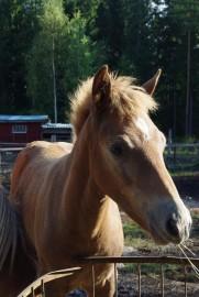 suomenhevonen;hevonen;varsa