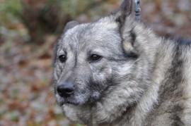 koira onkalossa norjanharmaapystykorva Tara