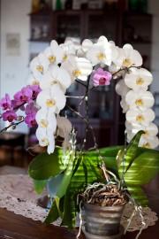 orkidea_kukka